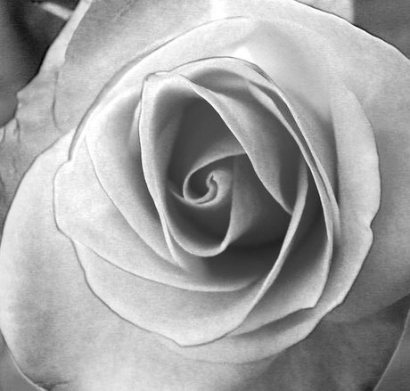 rose-edited-black-and-white-480.jpg